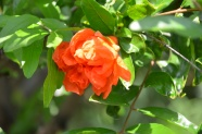 Link toPomegranate flowers pictures