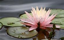 Link topictures lotus beautiful Pond,