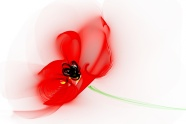 Link toPoppy flower pictures download