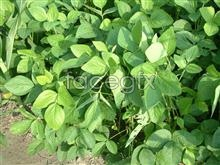 Link toPotato leaf material picture