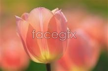 Link topicture tulips pink Pretty