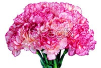 Link toPurple carnations bouquet hd pictures