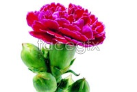 Link toPurple carnations flowers hd pictures