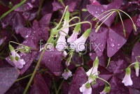 Link toPurple daffodil hd picture