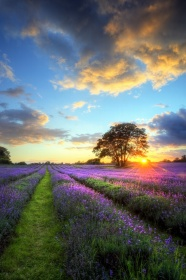 Link toPurple lavender hd pictures