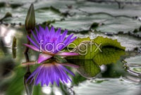Link toPurple lotus high definition pictures