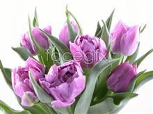 Link topicture hd tulip Purple