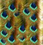 Real peacock feathers vector