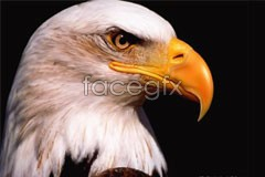 Link toRealistic eagle vector