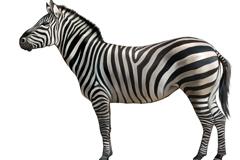 Realistic wild zebra vector