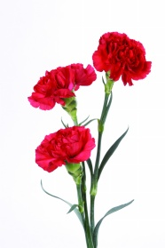 Link toRed carnation bouquet pictures
