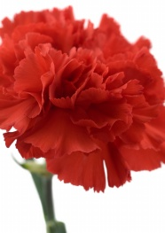Link toRed carnation flowers