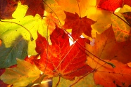 Link toRed maple leaf chinese restaurant pictures download