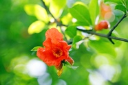 Link toRed pomegranate flowers pictures download