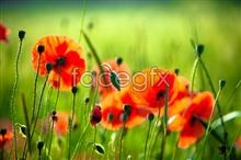 Link toRed poppy flower picture