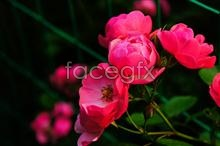 Link toRed rose flower nature photo picture