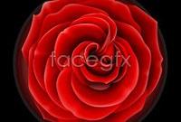 Link toRed rose flowers proper