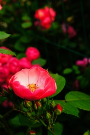 Link toRed roses pictures hd