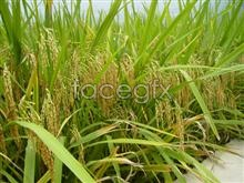 Link topicture material harvest Rice