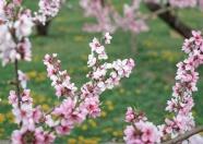 Link toRomantic cherry blossom pictures