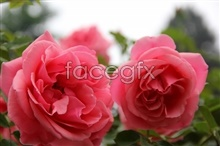Link toRose flowers hd pictures