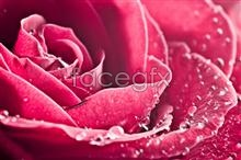 Link topicture Rose