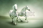 Link toRun white horse psd
