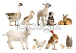 Link toSheep dogs, rabbits and geese ducks chicken psd