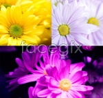 Link toSmall chrysanthemum hd pictures psd
