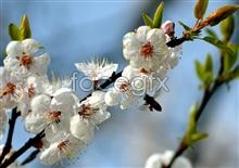 Link toSpring apricot pictures