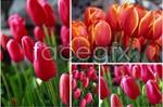 Link toSpring tulips psd