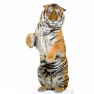 Link toStanding tiger picture download