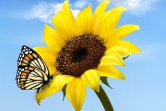 Link toSunflowers and butterflies vector illustration