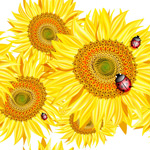 Link toSunflowers and ladybugs vector