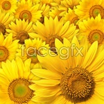 Link toSunflowers background psd