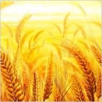 Link toThe golden wheat psd