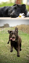 The little black dog psd