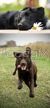 Link toThe little black dog psd