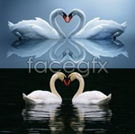 Link toThe white swan psd