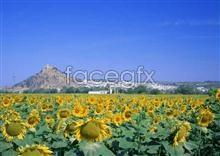 Link toThousand flower 308