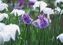 Link toThousand flower 605
