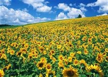 Link toThousand flower 629