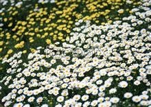 Link toThousands of flowers 553