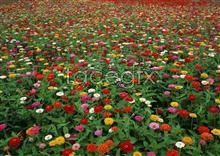 Link to585 flowers of Thousands