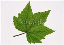 Link topictures leaf Toothed