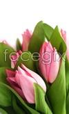 Link toTulip flower 4 psd