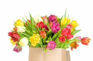 Link toTulip flower pictures hd