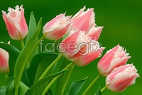 Link toTulip picture hd
