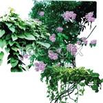 Link toVine plants psd3