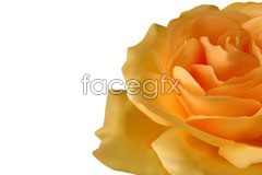 Link tovector rose yellow Vivid